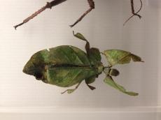 Incredible 'leaf beetle'